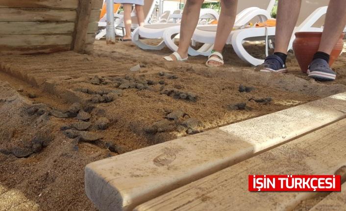 Antalya'da bir otelin ahşap bandı, 60 caretta carettayı öldürdü