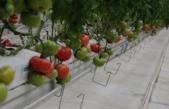 Yerli tohum, domatesleri çürümeye karşı koruyor