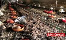 Sel felaketinin vurduğu bölgede 8 bin 800 civciv telef oldu