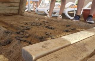 Antalya'da bir otelin ahşap bandı, 60 caretta...
