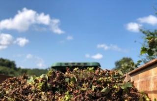Kaynarca'da fındık hasadında yüzde 20 düşüş...