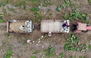 Sakarya'nın meşhur kabağının hasadı başladı