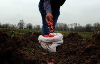 Türkiye'ye ün salmış Sakarya kabağının ekimi başladı
