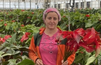 Topraksız tarımın en uzun ömürlü çiçeği Antalya'dan Avrupa ülkelerine gönderiliyor