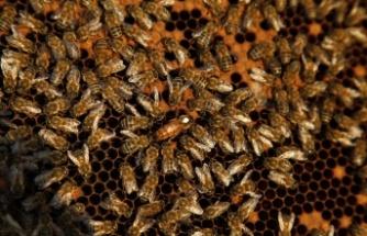 Sakarya'da ödüllü projede 21 ton bal ve 2 bin 530 ana arı üretildi